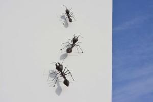 Hormigas en pared